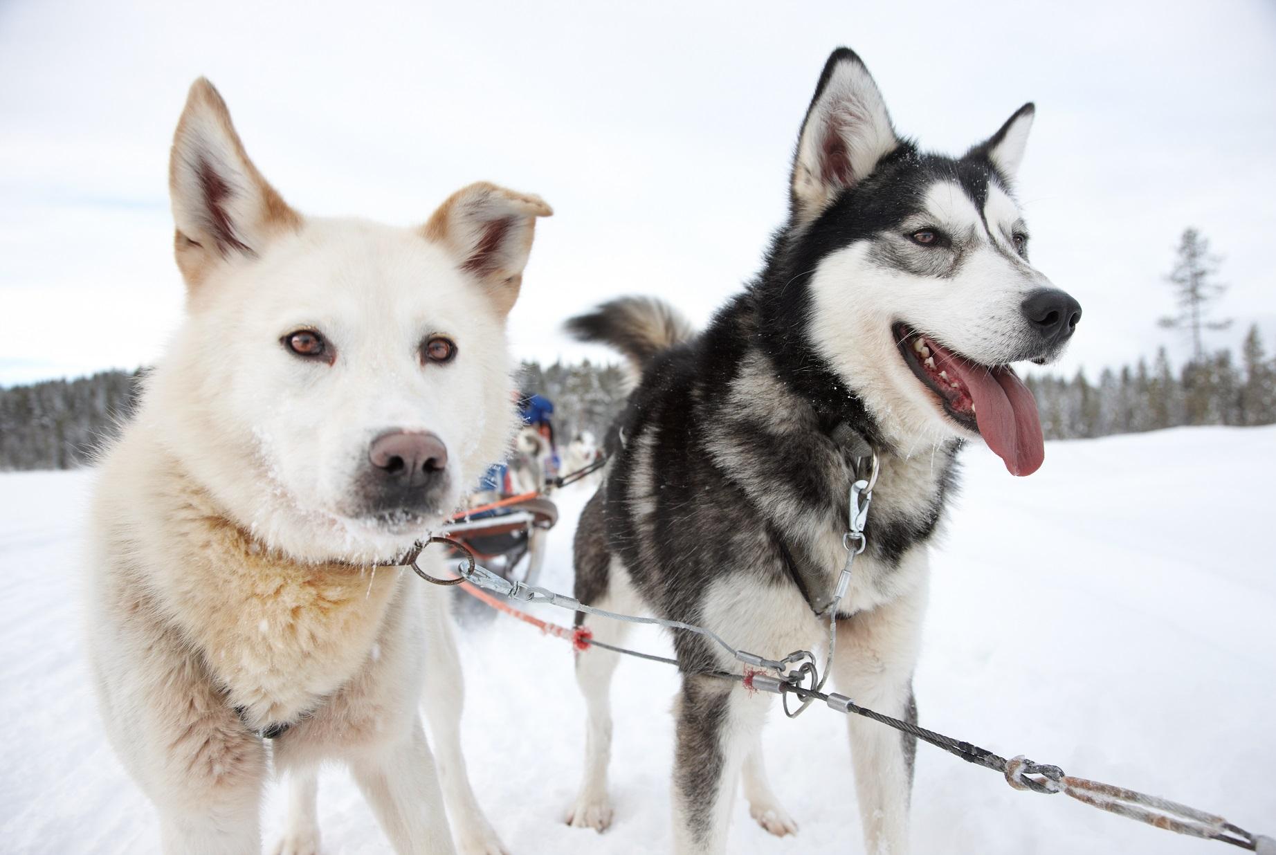 Hundeschlittenrennen Femundløpet Røros